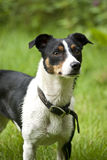 Jack Russell Terrier. Standing at attention outdoors Royalty Free Stock Images