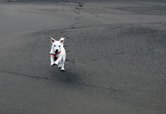 Obedient Jack Russell Terrier on the Beach. White Jack Russell puppy responding to the command Come Stock Photo