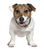 Jack Russell Terrier, 2 and a half years old. Standing in front of white background Royalty Free Stock Photo