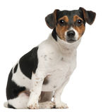 Jack Russell Terrier, 2 and a half years old. Sitting in front of white background Royalty Free Stock Photography
