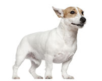 Jack Russell Terrier, 2 years old, standing Royalty Free Stock Photo