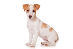 Jack Russell Terrier Stock Photography