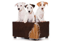 Jack Russell Terrier Royalty Free Stock Photography