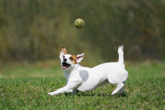 Jack Russell terrier. A Jack Russell terrier plays with tennis ball Royalty Free Stock Image