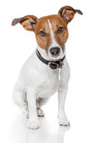 Jack russell terrier. Standing and watching royalty free stock photos