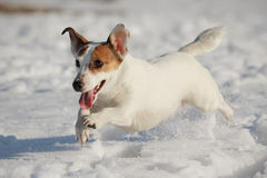 Jack Russell terrier. Cute Jack Russell terrier running in the snow Stock Images