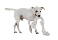 Jack Russell Terrier imagenes de archivo