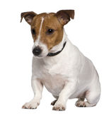Jack Russell terrier, 3 years old, sitting. In front of white background Stock Photo