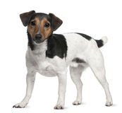 Jack Russell Terrier, 3 years old, standing Stock Photography