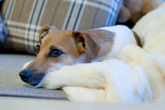 Jack Russell Terrier royaltyfri foto
