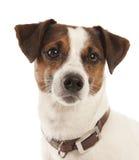 Jack Russell-Terrier Stockbild