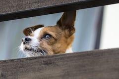 Jack Russell Terrier Zdjęcie Royalty Free