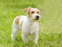Jack Russell Terrier Obrazy Royalty Free