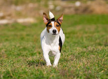 Jack Russell Terrier Immagine Stock