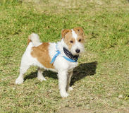 Jack Russell Terrier Images stock
