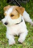 Jack Russell Terrier Obraz Stock
