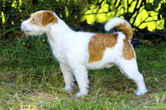 Jack Russell Terrier Photos stock