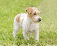 Jack Russell Terrier Fotografia de Stock