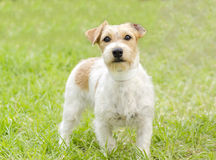 Jack Russell Terrier Fotos de Stock Royalty Free
