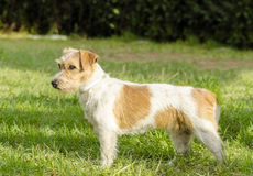 Jack Russell Terrier Royalty-vrije Stock Foto