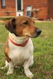 Jack Russell Terrier Image libre de droits