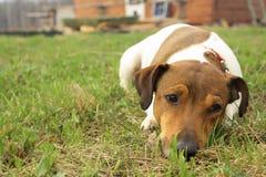 Jack Russell Terrier Photo libre de droits