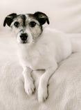 Jack Russell Terrier royaltyfri fotografi