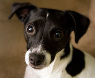 Free Jack Russell Terrier Royalty Free Stock Image - 4406866