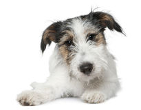 Jack Russell Terrier, 5 months old, lying Royalty Free Stock Images