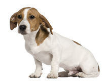 Jack Russell Terrier, 5 months old, sitting Stock Photo