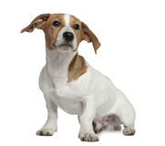 Jack Russell Terrier, 5 months old, sitting Royalty Free Stock Photos
