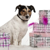 Jack Russell Terrier, 6 years old. Sitting with Christmas gifts in front of white background Royalty Free Stock Photography