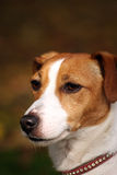 Jack Russell Terrier. Portrait of a beautiful Jack Russell Terrier in close up Stock Photos