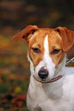 Jack Russell Terrier. Portrait of a beautiful Jack Russell Terrier in close up Stock Image