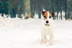 Free Jack Russell Terrier Stock Photos - 79806293