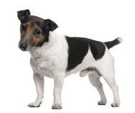 Jack Russell Terrier, 8 years old, standing Royalty Free Stock Photos