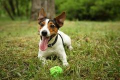 Jack Russell Terrier adorable jouant avec le jouet de chien photos stock