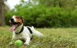 Jack Russell Terrier adorable jouant avec le jouet de chien images stock
