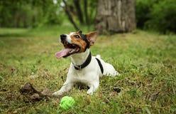 Jack Russell Terrier adorable jouant avec le jouet de chien photo libre de droits