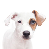 Jack Russell Terrier. Adorable young Jack Russell terrier with one brown spot on the eye royalty free stock image