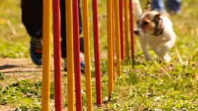 Jack russell terrier stock footage