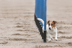 Jack russell terrier in an agility slalom Royalty Free Stock Images