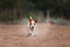 Jack Russell Terrier alegre Imagens de Stock Royalty Free