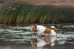 Jack Russell Terrier alegre Foto de Stock Royalty Free