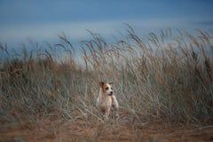 Jack Russell Terrier alegre Fotos de Stock Royalty Free
