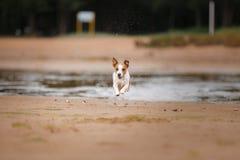 Jack Russell Terrier alegre Imagens de Stock