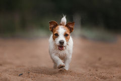 Jack Russell Terrier alegre imagen de archivo libre de regalías
