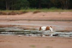 Jack Russell Terrier alegre Fotos de Stock