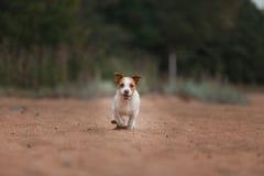 Jack Russell Terrier alegre Foto de Stock
