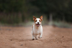 Jack Russell Terrier alegre Imagem de Stock